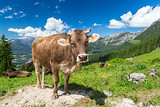 Cow on green grass in front of wonderfull mountain landscape / Kuh auf Wiese vor wundervoller Alpen Landschaft