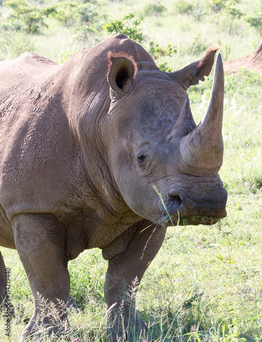 obraz lub plakat White Rhinoceros grazes in a protected park