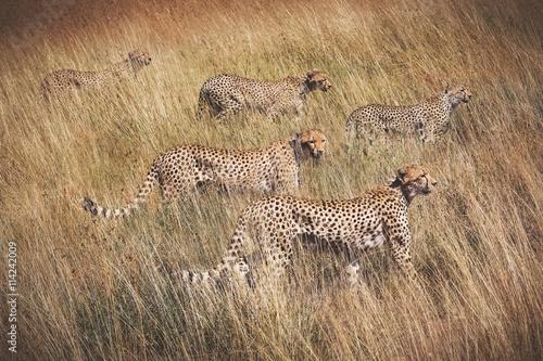 fototapeta na ścianę Family of cheetahs on the hunt . Serengeti National Park . Tanza