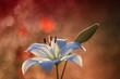 Lilia biała 2