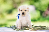 adorable labrador retriever puppy outdoors