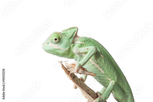 Fotobehang Kameleon Greenish chameleon on branch isolated on white background