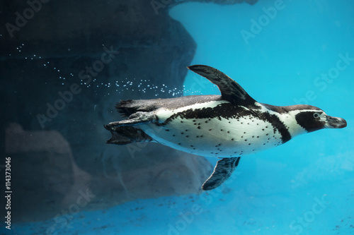 Closeup of Penguin swimming underwater Poster