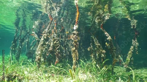 Poster Water planten Underwater scene, roots of red mangrove trees in shallow water with ripples on the water surface, Caribbean sea, Central America, Panama