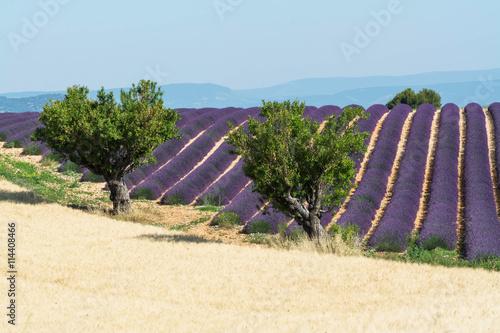 obraz lub plakat champ de lavande avec des arbres devant