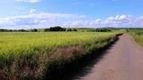 Unripe grain field near rural road