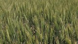 Field of green wheat. Macro shot.