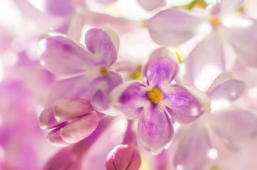 Flowers of lilac macro