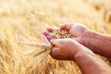 Close up of senior farmers hands holding and examining grains of wheat. - 114442850