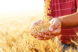 Close up of senior farmers hands holding and examining grains of wheat. - 114443420