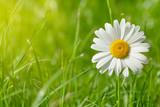 Fototapety Chamomile flower on grass field