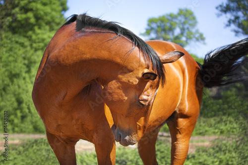 Zdjęcia na płótnie, fototapety, obrazy : Portrait of a bay horse.