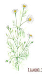 Fototapety chamomile, daisy flowers and leaves, bouquet, watercolor painting, realistic illustration on white background