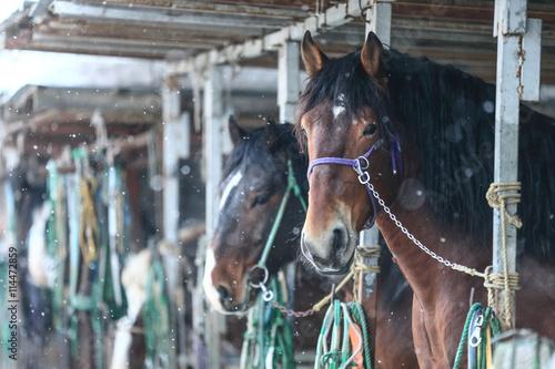 Zdjęcia na płótnie, fototapety, obrazy : 冬の馬
