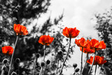 Red poppies. Monochromatic image. Toned image. - 114496238