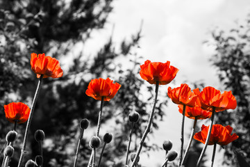 Red poppies. Monochromatic image. Toned image. © maxandrew