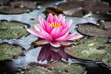 Beautiful purple water lily in the garden pond, cold photo filte