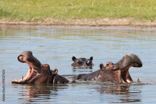 obraz lub plakat Wild Africa Botswana savannah African Hippo animal mammal
