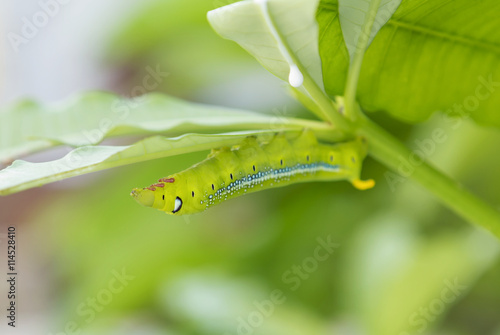 Poster Polyphemus caterpillar in the nature eating young leaf