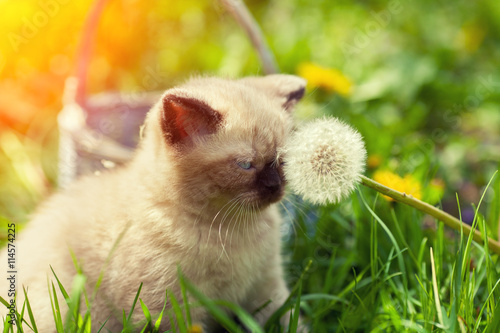 obraz PCV Little kitten sitting on the grass and sniffing dandelion with seeds