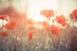 summer poppy flowers at meadow sunlight