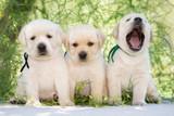 three labrador puppies outdoors