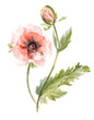Poppy or Papaver.Hand drawn, watercolor botanical illustration.
