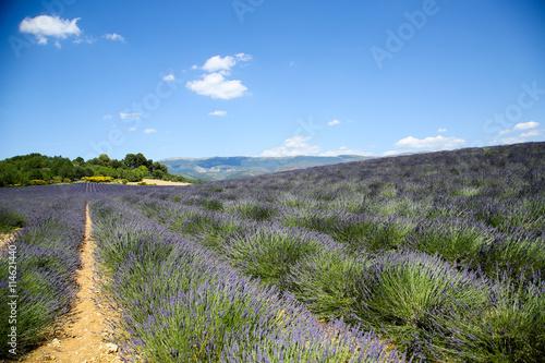 Tuinposter Olijfboom lavandes en provence