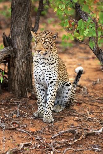 Zdjęcia Leopard