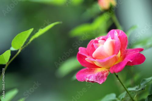 Zdjęcia na płótnie, fototapety, obrazy : роза в саду