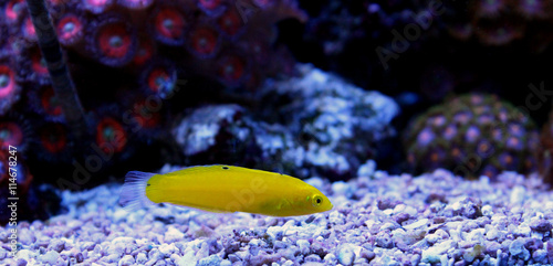 Póster Yellow Wrasse (Halichoeres chrysus)