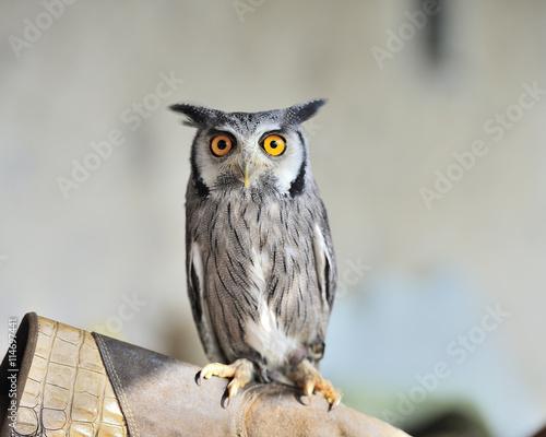 obraz PCV nice horned owl