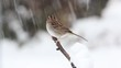 White-throated Sparrow (zonotrichia albicollis) perched on a tree limb with snow falling