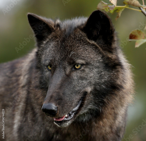 Black wolf looking to the left Poster