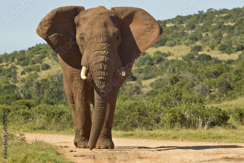 obraz lub plakat Huge African elephant in the road
