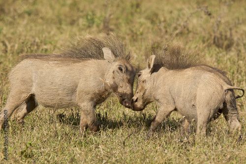 obraz PCV Young warthogs playing