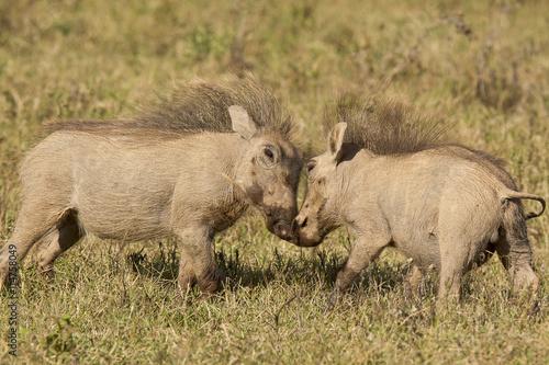 fototapeta na ścianę Young warthogs playing