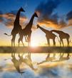 Herd of giraffes at sunset.