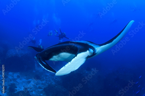 obraz PCV Manta Ray with scuba divers in background