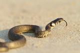 grass snake, juvenile on sand