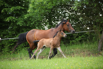 Lovely couple - mare with its foal - running together © zuzule