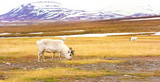 Reindeers in the arctic landscape of Svalbard