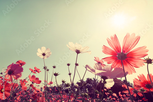 Vintage landscape nature background of beautiful cosmos flower field on sky with sunlight Canvas Print