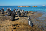 Group of African penguins (Spheniscus demersus) sitting on coastal rocks, Western Cape, South Africa .