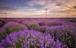Stunning landscape with lavender field and wind farm at sunset near Shabla, Bulgaria