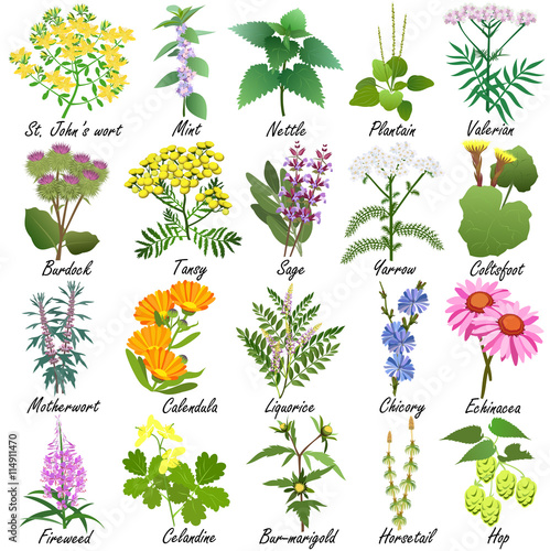 Fototapeta Medicinal and healing herbs collection. Hand drawn set of botanical vector illustrations, isolated on white.