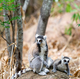 two catta lemurs on a stone