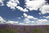 Landscape of Lavender fields in summer in Provence,France-Campi di lavanda in Estate in Provenza, Francia
