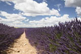 Landscape of Lavender fields in summer in Provence,France-Campi di lavanda in Estate in Provenza, Francia