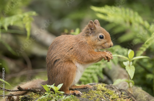 Tuinposter Eekhoorn Red squirrel, Sciurus vulgaris, on a tree trunk, eating a nut